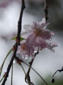 Cherry tree blossoms and stems soaked in rain (c) Sarah Elizabeth Malinak