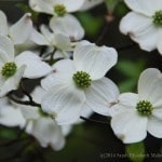 young dogwood blossoms in shade
