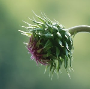 Thistle in the Bud