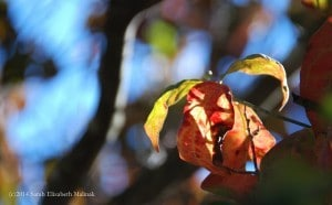 dogwood leaves 2014