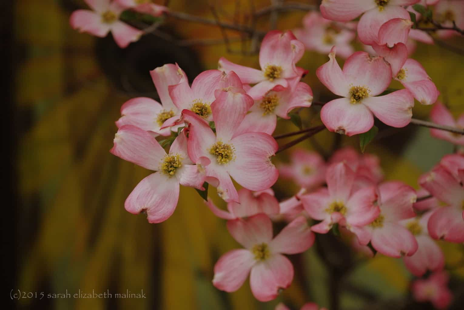 2-cluster of pink dogwoods in front of painted wall Weaverville