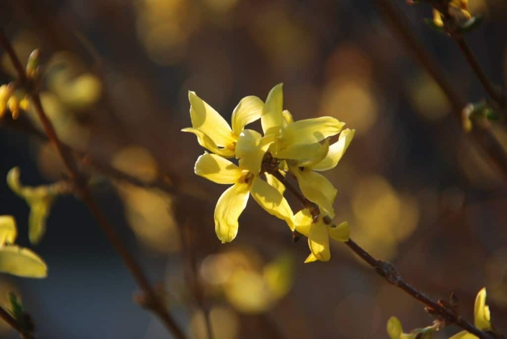 Bokeh yellow flowers on bush blooms first in spring
