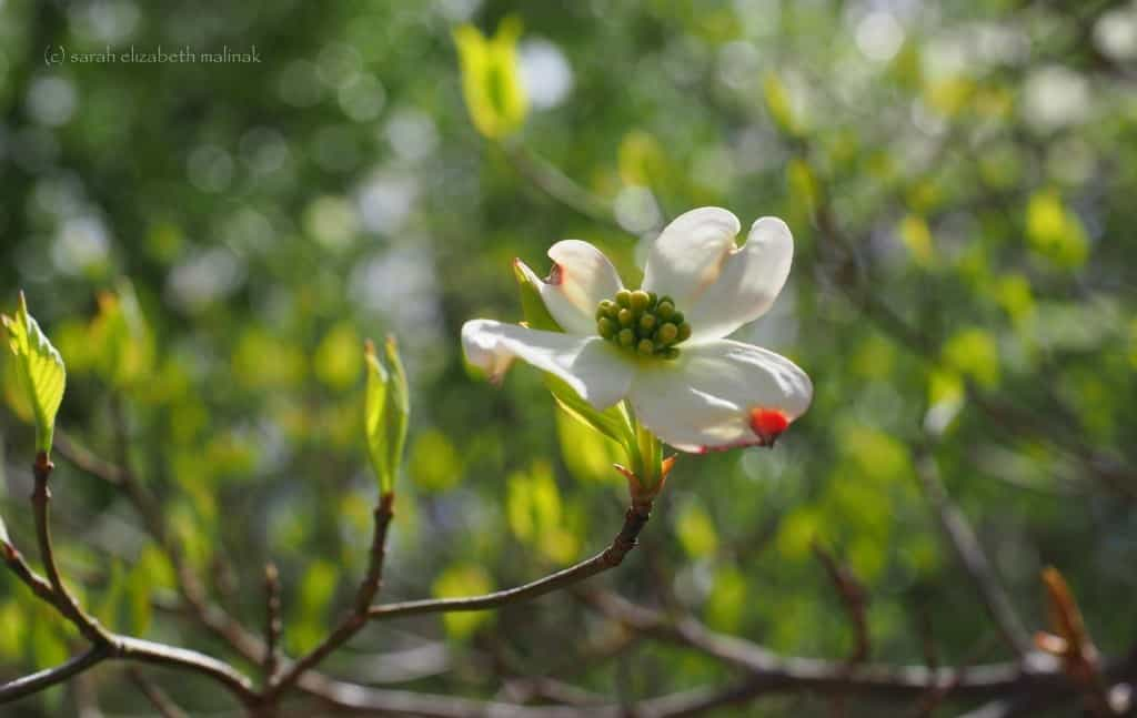 dogwood-flower